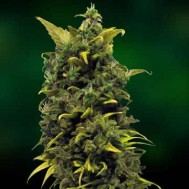 Foto Blue Cheese Feminised