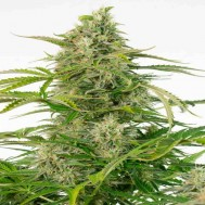 Foto Auto Cheese CBD