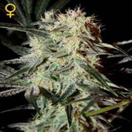 Foto Arjan's Strawberry Haze Feminised