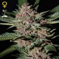 Foto Bubba Kush Feminised