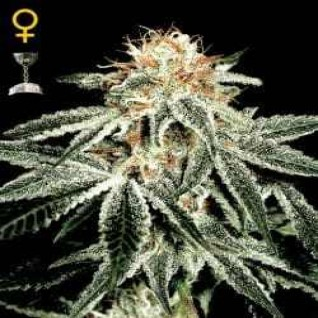 Foto White Widow Feminised