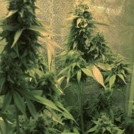 Foto Jack Herer Feminised