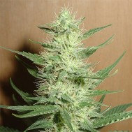 Foto  Auto Big Bud Feminised