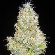 Foto White Widow x Jack Herer Feminised