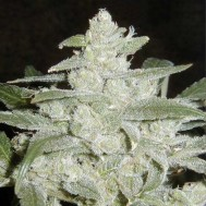 Foto White widow х Lowryder