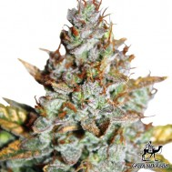Foto Auto Blueberry Feminised