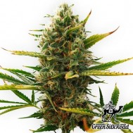 Foto Auto Super Skunk Feminised