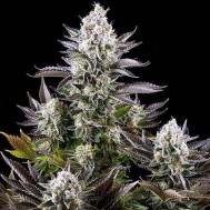 Foto CBD White Widow Feminised