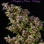 Foto Purple Paro Valley Feminised
