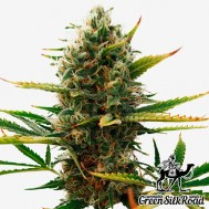 Foto Super Skunk Feminised