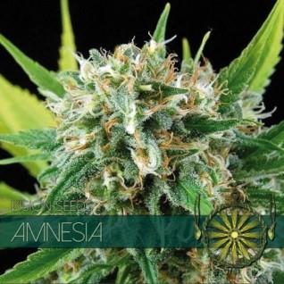 Foto Amnesia Feminised