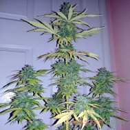 Foto Auto Lemon Haze Feminised