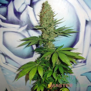 Foto Big Bud Feminised