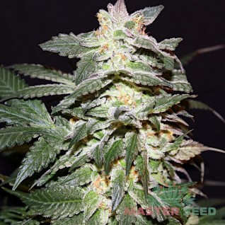 Foto Lemon Skunk Feminised
