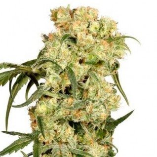 Foto Auto Blackberry Kush Feminised