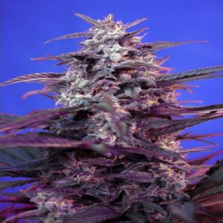 Foto Auto Bloody Skunk Feminised