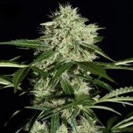 Foto Auto Northern Lights Feminised