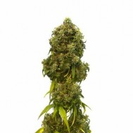 Foto Auto Swiss Dream CBD