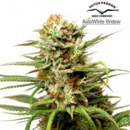 Foto Auto White Widow