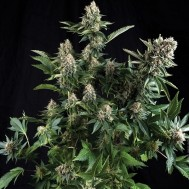Foto Auto White Widow Feminised