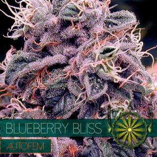 Foto Auto Blueberry Bliss Feminised