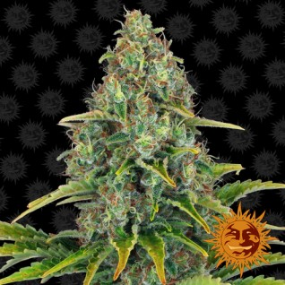 Foto Auto Blue Cheese Feminised