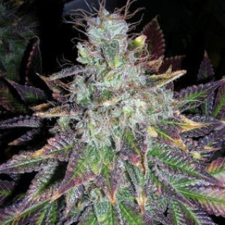 Foto Auto Blueberry Bliss