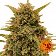 Foto Blueberry OG Feminised
