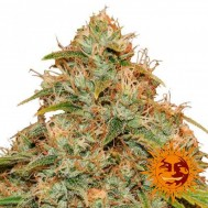 Foto Auto CBD Lemon Potion Feminised