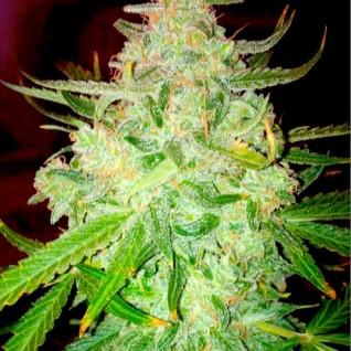 Foto Auto Blueberry Haze Feminised
