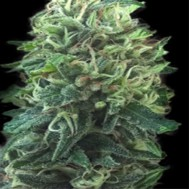 Foto Green Scout Cookies Feminised