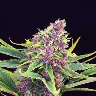Foto Purple Kush Feminised