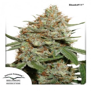Foto Skunk#11 Feminised