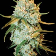 Foto Special Crystal Haze Feminised