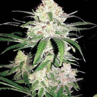 Foto Special Lime Haze Feminised