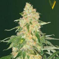 Foto Super Extra Skunk Feminised