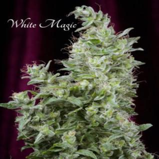 Foto White Magic