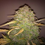Foto White russian x White widow